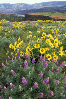 Balsam root meadow with lupine by Danita Delimont