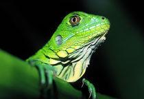 Borro Colorado Island Green Iguana (Iguana iguana) by Danita Delimont