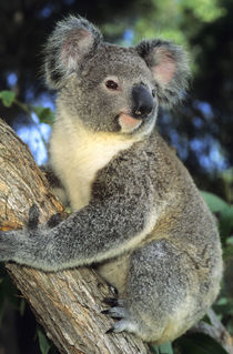 Portrait of a koala in an eucalyptus tree by Danita Delimont