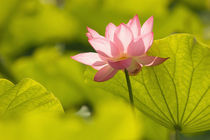 Lotus leaves to the sides and in background von Danita Delimont