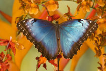 Sammamish Washington Tropical Butterfly photograh of female Morpho peleides the Common Morpho on Orchid and Heliconius by Danita Delimont