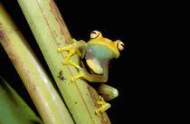 Tree frog (Hyla granosa) by Danita Delimont