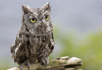 Front close-up of western screech owl sitting on log by Danita Delimont