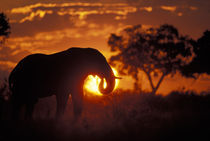 Bull Elephant (Loxodonta africanus) silhouetted by setting sun on Savuti Marsh by Danita Delimont