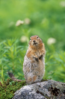 Wild arctic ground squirrel sitting on rock von Danita Delimont