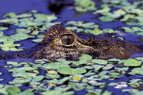 Spectacled Caiman by Danita Delimont