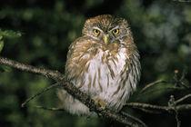 Autral Pygmy Owl (Glaucidium nanum) von Danita Delimont