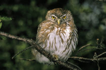 Autral Pygmy Owl (Glaucidium nanum) by Danita Delimont