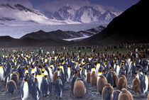 King Penguins (Aptenodytes patagonicus) by Danita Delimont