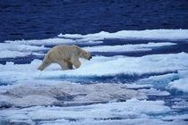 Polar bear (Ursus maritimus) on Chukchi Sea by Danita Delimont