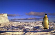 Emperor Penguin (Aptenodytes forsteri) von Danita Delimont