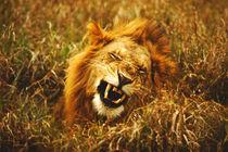 Wild (panthera leo) by Danita Delimont