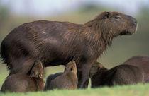 Pantanal Capybara (Hydrochoerus hydrochaeris) mother nursing several babies von Danita Delimont