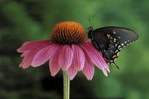 Spicebush Swallowtail on Mullin (Papilio troilus) von Danita Delimont