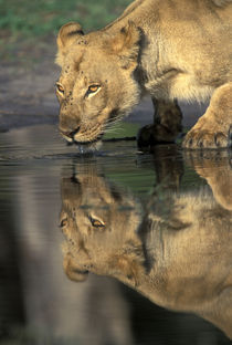 Lioness (Panthera leo) drinks from pool by Khwai River in early morning von Danita Delimont