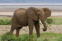 Elephant at Lake Manyara NP by Danita Delimont