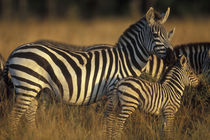 Plains Zebra (Equus burchelli) and calf in tall grass on savanna at sunrise von Danita Delimont