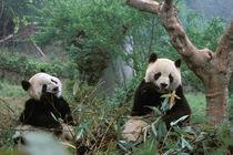 Giant Panda Sanctuary - Young Panda eating bamboo (ailuropoda melanoleuca) by Danita Delimont