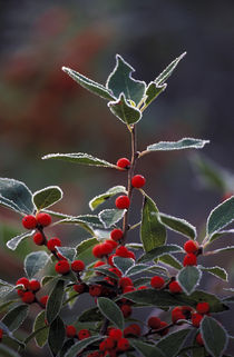 Holly berries with frost by Danita Delimont