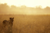 Male Lion (Panthera leo) walking in tall grass near Khwai River at dawn von Danita Delimont