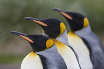 King Penguins (Aptenodytes patagonicus) standing in a row on beach in crowded rookery at Salisbury Plains by Danita Delimont