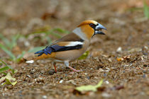 Hawfinch (Coccothraustes coccothraustes) male eating hornbeam seed on forest floor von Danita Delimont