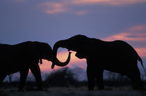 Elephants (Loxodonta africana) silhouetted by setting sun at Marabou Pan in Savuti Marsh by Danita Delimont