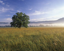 Large Bur oak tree in grassy field at dawn by Danita Delimont