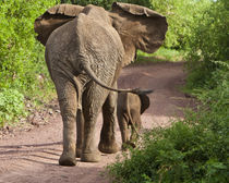 Elephant mother and calf at Lake Manyara NP von Danita Delimont