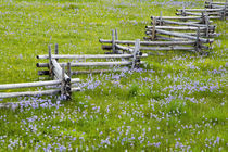 Meadow of penstemon wildflowers and cross stitch fence in the Sawtooth National Forest near Stanley Idaho by Danita Delimont