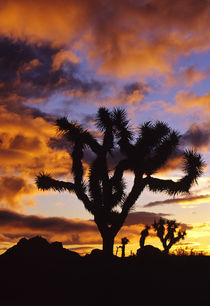 Spectacular Sunrise at Joshua Tree National Park in California von Danita Delimont