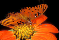 Detail of captive gulf fritillary butterfly on flower von Danita Delimont