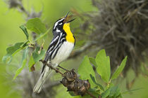 Male yellow-throated warbler singing on branch by Danita Delimont