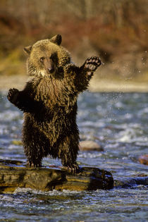 Cub playing in river by Danita Delimont