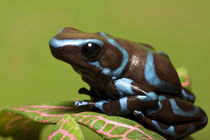 Close-up of blue and black dart frog von Danita Delimont