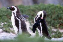 Grooming Jackass Penguins (Phalacrocorax capensis) by Danita Delimont