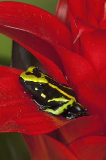 Close-up of three-stripe dart frog by Danita Delimont