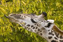 Masai Giraffe at Tarangire NP by Danita Delimont