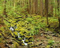Stream with mossy rocks and forest near Sol Duc by Danita Delimont