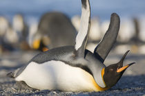 King Penguins (Aptenodytes patagonicus) lying on belly while stretching wings along shoreline at massive rookery along Saint Andrews Bay at sunset on summer evening von Danita Delimont