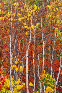 Autumn aspens in Acadia National Park von Danita Delimont