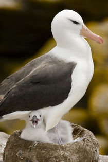 Profile of black-browed albatross parent protecting chick in nest von Danita Delimont