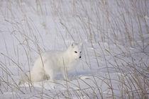 Arctic Fox by Danita Delimont
