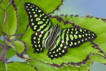 Graphium agamemnon the Tailed Jay Butterfly by Danita Delimont