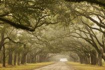 An oak lined drive in the fog by Danita Delimont