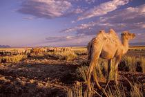 Camel; bactrian (Camelus bactrianus) von Danita Delimont