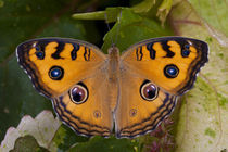 The Peacock Pansy (Junonia almana) by Danita Delimont