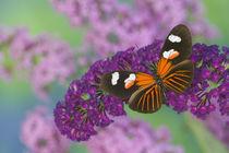 Heliconius melpomene the Postman Butterfly von Danita Delimont