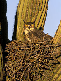 Great horned owl on nest in Saguaro cactus von Danita Delimont