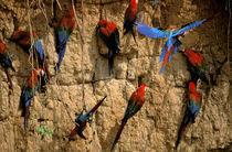 Scarlet Macaws (Ara macao) by Danita Delimont